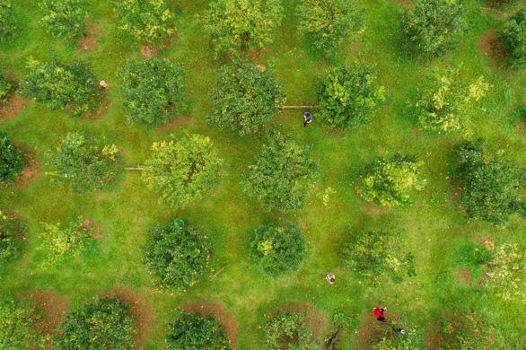 Vườn quýt vàng Bắc Sơn của anh Phan Văn Hiền chụp từ flycam - Ảnh: TRẦN ĐOÀN HUY