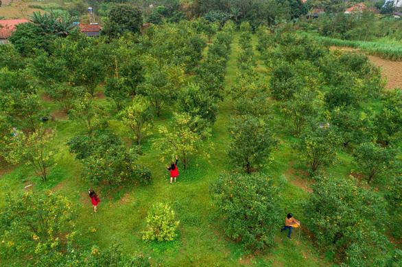 Quang cảnh du khách đi hái quýt chụp từ flycam - Ảnh: TRẦN ĐOÀN HUY