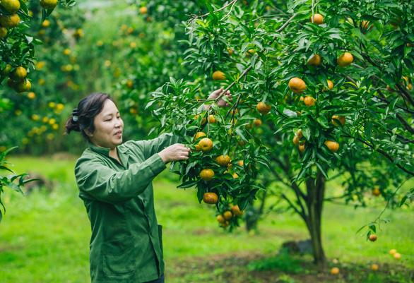Quýt vàng Bắc Sơn được trồng trên các thung lũng xã Chiến Thắng, huyện Bắc Sơn - Ảnh: TRẦN ĐOÀN HUY