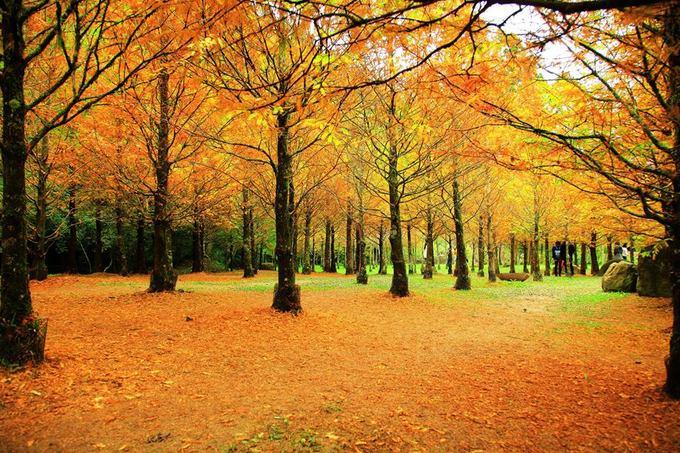 Theo nhiều trang dự báo thì mùa thu bắt đầu từ tháng 10. Tuy nhiên đến tận đầu tháng 12, cây lá đỏ ở Nantou, đặc biệt là rừng Shanlinxi mới bùng nổ sắc vàng, cam cho đến cuối tháng. Thời gian này cũng là mùa du lịch cao điểm ở Nantou, hút du khách thập phương đổ về đây ngắm cảnh.