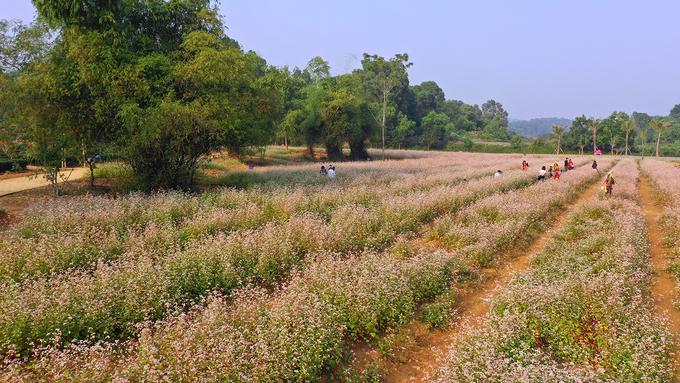 Vườn hoa tam giác mạch tọa lạc giữa khu nhà Thái và nhà Khơ Mú thuộc Làng Văn hóa các dân tộc Việt Nam (Đồng Mô, Hà Nội). Trước đó Ban Quản lý Làng đã tiến hành trồng thử nghiệm giống hoa này sau đó nhân rộng diện tích.