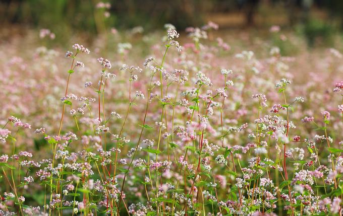 Một loài hoa mong manh và kiêu sa đã tôn lên vẻ đẹp đầy sức sống, can trường của thiên nhiên vùng cao nguyên đá nhưng đang được nhiều nơi trồng thử nghiệm và cho kết quả bất ngờ khi có thể thích nghi sống ở nhiều điều kiện địa lý khác nhau.