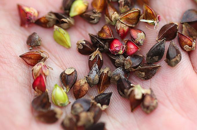 Nhiều cây hoa nở sớm đã cho ra hạt hình khối tam giác, toàn bộ hạt của cây sẽ được làm giống cho vụ sau.