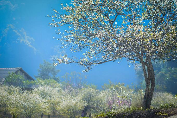 Cuối tháng 1, Mộc Châu sẽ phủ đầy sắc trắng của hoa mận, tạo nên một khung cảnh rất lãng mạn. Nhiều cặp vợ chồng sắp cưới cũng sẽ tranh thủ thời điểm này để chụp ảnh. Một vài nơi bạn có thể ghé thăm trên đường tới thiên đường hoa Tây Bắc là bản Áng có rừng thông xanh, thung lũng mận Nà Ka... Tùy thời tiết, hoa mơ, mận sẽ nở rộ trước hoặc ngay sau Tết Nguyên đán. Ảnh: Đặng Thùy Linh