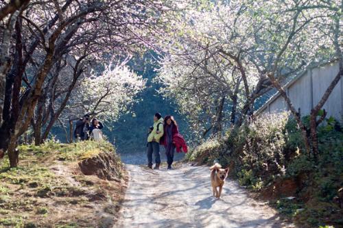 Mộc Châu mùa hoa mận trắng thu hút đông đảo du khách lên chụp ảnh.