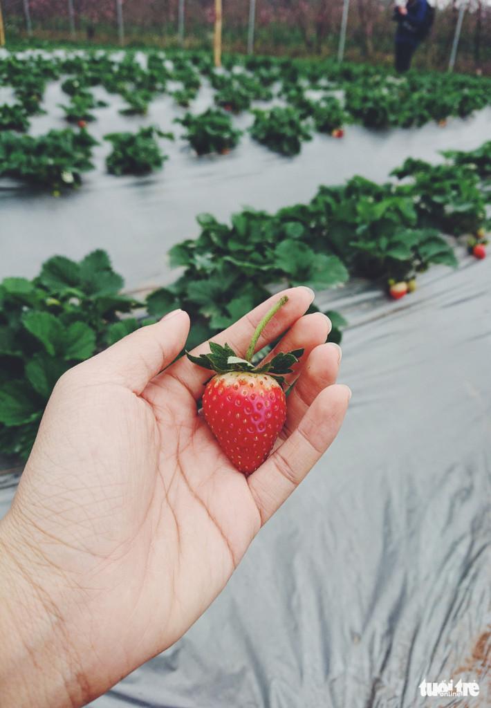 Những trái dâu tây chín đỏ, căng mọng nức lòng du khách - Ảnh: NGUYỄN HIỀN