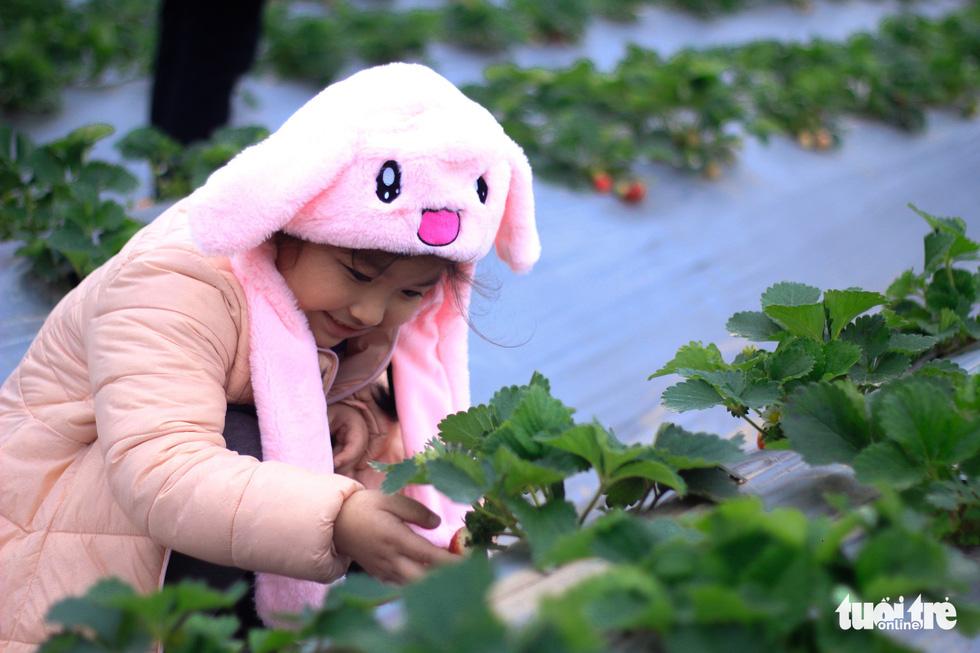 Không cần đi đâu xa, giờ đây chỉ đến Nhật Tân, Tây Hồ bạn đã được tận mắt chiêm ngưỡng những trái dâu đẹp mắt - Ảnh: NGUYỄN HIỀN