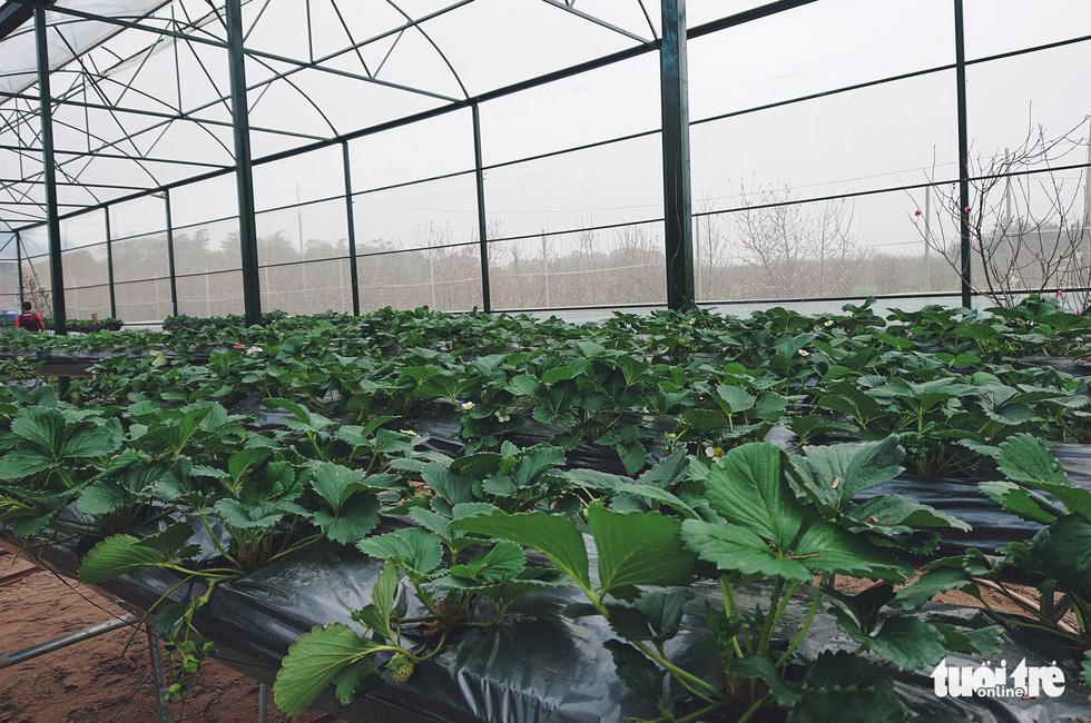 Dâu tây thủy canh được trồng trên giá cao 1m - Ảnh: NGUYỄN HIỀN
