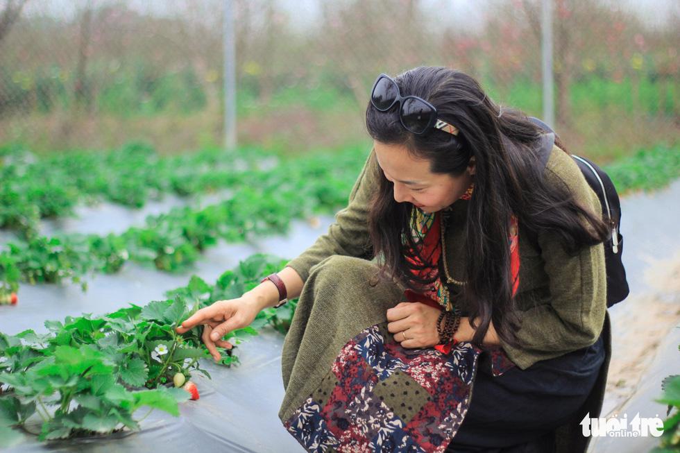 Cô Nguyễn Thị Hồng Mai (Hà Nội) rất vui vì không phải đi xa mà cũng được ngắm dâu tây - Ảnh: NGUYỄN HIỀN