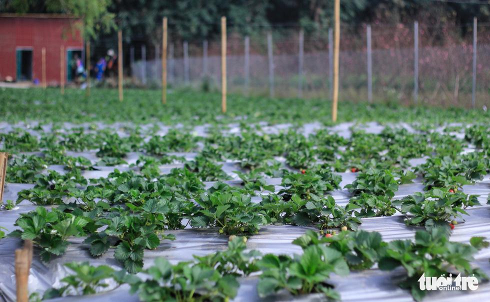 Dâu tây Nhật Bản được trồng thử nghiệm lần đầu tiên tại Hà Nội - Ảnh: NGUYỄN HIỀN