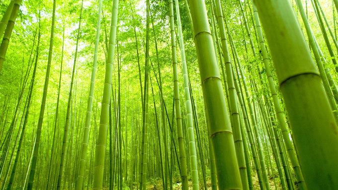 Tiếng vi vu, xào xạc của khu rừng cũng là điều gây ấn tượng với khách du lịch. Bộ Môi trường Nhật đưa tiếng động trong rừng tre vào danh sách 100 âm thanh của Nhật Bản, với mục đích khuyến khích người dân cảm nhận những thanh âm tự nhiên đã tạo nên nét đặc trưng của quốc gia. Ảnh: Duff's Suitcase.