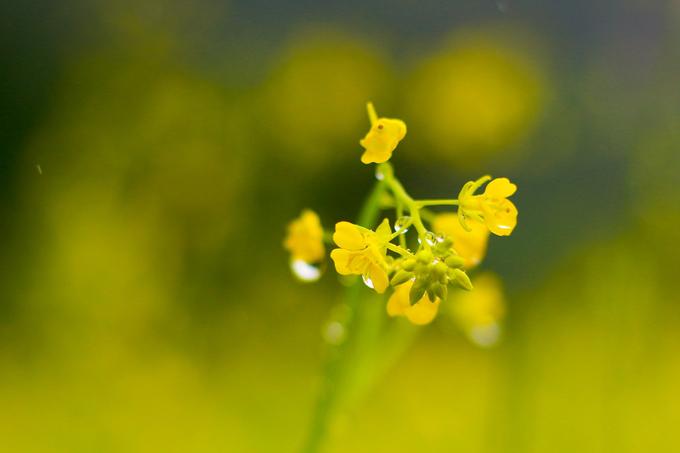 Theo chủ vườn, hạt hoa cải được gieo cách đây khoảng một tháng trên mảnh đất rộng gần 1 hecta (10.000 m2). Nhờ thổ nhưỡng tốt mà hoa nở đều và đẹp. Hiện tại là thời điểm hoa nở rộ nhất.