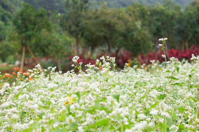 Ngoài hoa cải, nơi này còn có hoa tam giác mạch đang nở. Hoa được trồng theo từng thửa rộng, mỗi thửa rộng khoảng 100 mét vuông.