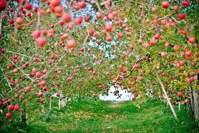 Táo Fuji vốn được đặt theo tên của thị trấn Fujisaki (tỉnh Aomori) ở đầu tận cùng Tây Bắc đảo Honshu, nơi nó được phát hiện và nhân giống bởi các chuyên gia tại Trạm nghiên cứu Tohoku đặt tại đây, cách thủ đô Nhật Bản tầm gần 700 km. Nếu ngại xa, bạn có thể đến vùng đồi núi tỉnh Nagano cách Tokyo khoảng 250 km. Vườn táo đỏ trĩu quả khiến bạn có cảm giác như lạc vào thế giới cổ tích.
