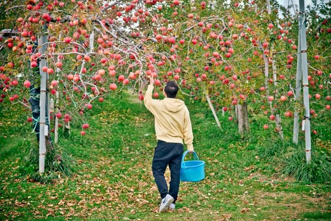 Quyên chia sẻ , ấn tượng đầu tiên là không khí ở đây rất trong lành, cảnh làng quê yên bình đến lạ. Càng đi sâu vào trong, đến các ruộng táo thì càng choáng ngợp bởi sự trù phú. Táo ở mọi nơi, quả đỏ mọng trên cành tưởng chừng như không có lá, chỉ thấy toàn táo là táo.