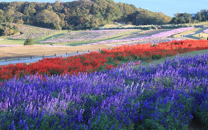 Công viên hoa Awaji Hanasajiki nằm trên đỉnh đồi của đảo Awaji (ở tỉnh Hyogo, Nhật Bản) nhìn ra vịnh Osaka. Hòn đảo có diện tích 592 km2, phần lớn diện tích là công viên, cây xanh.