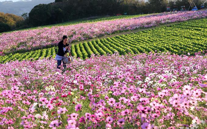 Khách du lịch thường đi dạo lang thang dọc theo những con đường nhỏ bên những luống hoa và chụp ảnh.