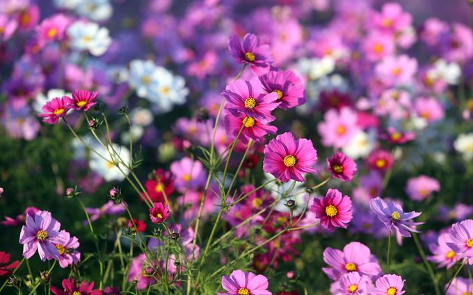 Những bông hoa cánh bướm hay còn gọi là hoa cosmos Nhật Bản.