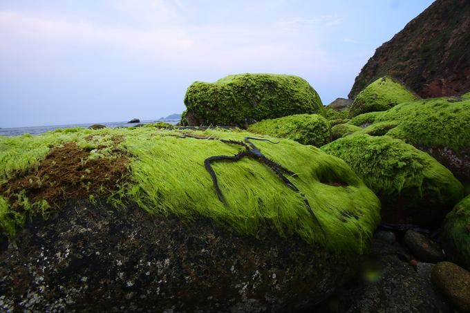 Con sao biển tìm cách ẩn mình trong đám rêu khi nước thủy triều rút.