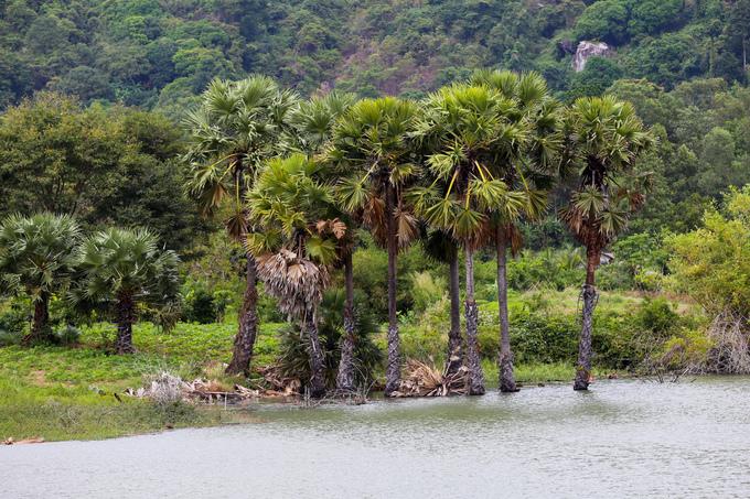 """Ven bờ trồng nhiều thốt nốt, loài cây mang tính biểu tượng của tỉnh An Giang. Tên gọi """"thốt nốt"""" do người địa phương đọc chệch từ tiếng Khmer là """"th'not""""."""