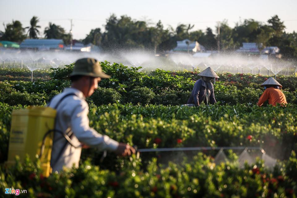 Trong những ngày cuối năm âm lịch, các hộ dân nơi đây đang tích cực chăm bón, vun trồng các luống để hoa nở đúng hạn, kịp thời đáp ứng nhu cầu của thị trường trong dịp Tết Nguyên đán 2019.