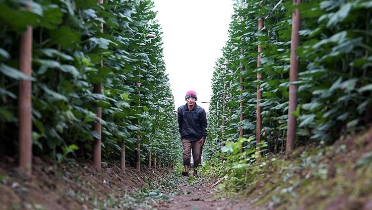 Hoa cúc được trồng phổ biến vì dễ chăm sóc.