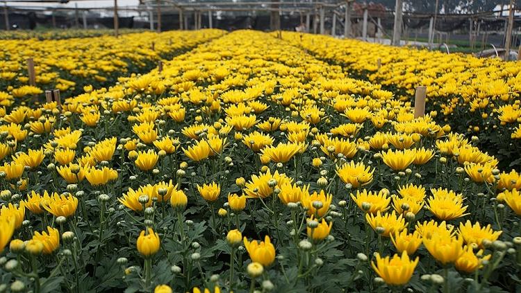 Luống hoa cúc vàng nở đều