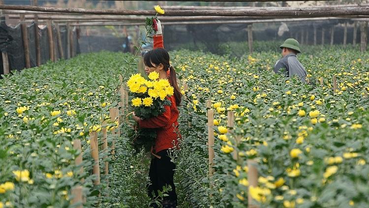 Cây hoa được ươm trồng từ tháng 8, đến hiện tại đã có thể thu hoạch những bông hoa nở sớm mang ra chợ bán. Còn lại những nụ to để đến rằm tháng Chạp, cây nụ bé hơn để dành phục vụ Tết Nguyên đán.