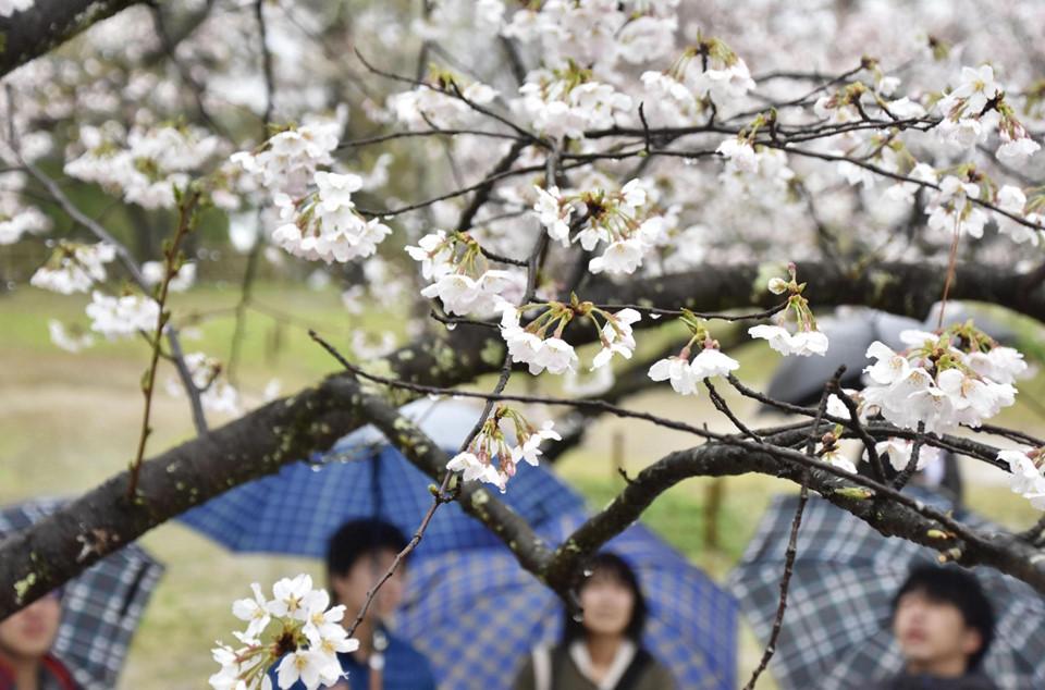 Cuối tháng 3 là thời điểm hoa anh đào bắt đầu khoe sắc tại Nhật Bản. Theo dự báo, năm nay, loài hoa biểu tượng của đất nước Mặt Trời mọc sẽ nở sớm. Cư dân tại tỉnh Kochi sẽ là những người đầu tiên được ngắm hoa anh đào tại đất nước võ sĩ đạo. Theo dự báo, anh đào bắt đầu nở tại khu vực này vào ngày 18/3. Ảnh: Kyodo.