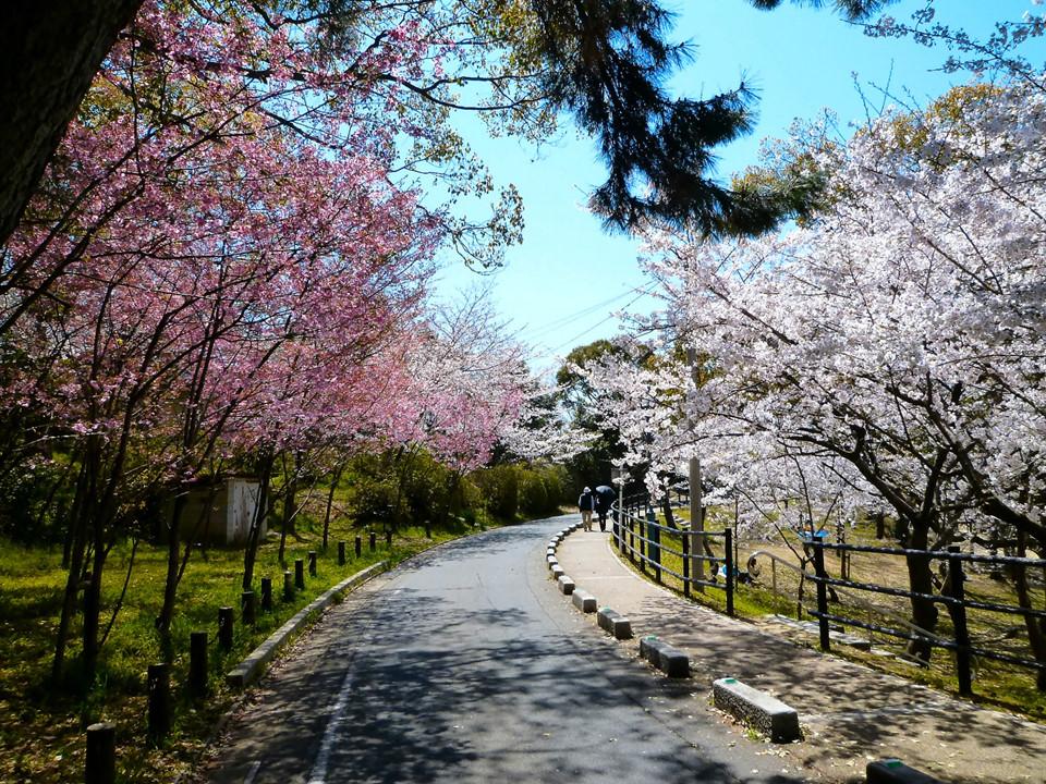 Ngày 20/3, anh đào sẽ nở tại tỉnh Fukuoka. Một trong những điểm ngắm hoa anh đào đẹp trong thành phố có thể kể đến như Atago Shrine (2.000 cây), công viên Maizuru (1.000 cây), công viên Nishi (1.300 cây), công viên Uminonakamichi (2.000 cây), công viên Minami (1.400 cây), Forest City Aburayama (2.000 cây) và công viên Nokonoshima (300 cây). Ảnh: Kyodo.