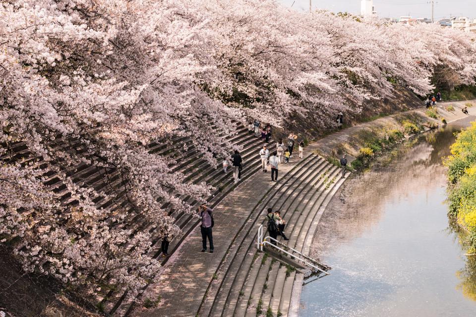 Tại Nagoya, thành phố phồn vinh thứ 3 của Nhật Bản, cư dân và du khách có thể ngắm hoa anh đào nở từ ngày 22/3. Một số địa điểm thưởng hoa đẹp có thể kể đến như bờ sông Yamazakigawa, lâu đài Nagoya, công viên Tsuruma, công viên hòa bình Nagoya và lâu đài Inuyama. Ảnh: The Japan Times.