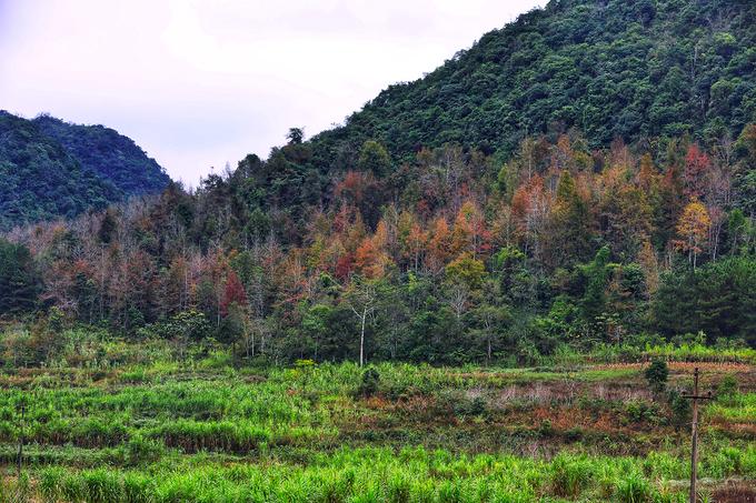 Người dân địa phương cho biết, giống cây mang lại màu sắc lạ mắt cho vùng núi gọi là cây sâu, một số tỉnh khác gọi là cây sau sau.
