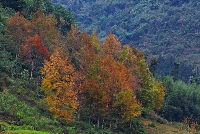Cây sâu có thể cao tới 10 m, mọc san sát nhau trên các sườn đồi núi.