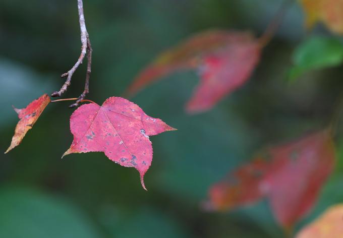 Lá của cây có ba cánh ngả sắc cam, đỏ giống màu của cây phong ở những nước có khí hậu ôn đới.