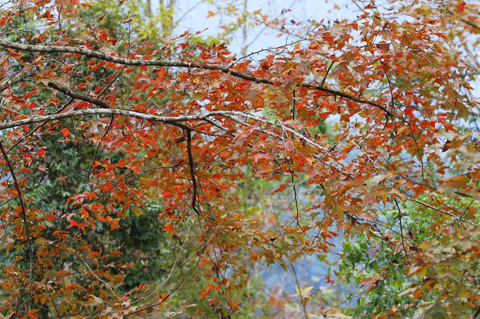 Vào mùa đông, cây đổi màu lá tạo nên cảnh quan sống động cho núi rừng. Mùa xuân khi tiết trời mát mẻ, lá vàng sẽ rụng và cây đâm chồi mới.