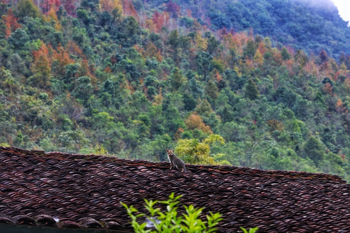 Giống cây này mọc hoang ở bất kỳ nơi nào có đất thịt, phân bố chủ yếu ở Cao Bằng và Lạng Sơn. Khi cây nảy lộc, người dân hái ngọn về làm thức ăn. Vị của lá non chua chát, ăn kèm với canh chua thịt băm.