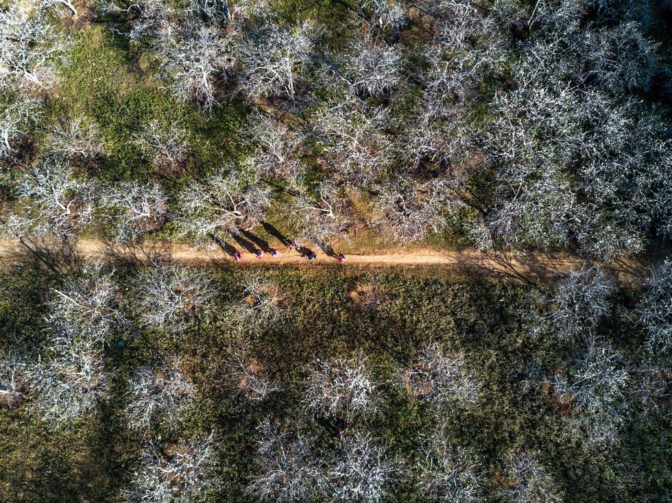 Bức tranh vườn mận trắng Phiêng Cành nhìn từ trên cao - Ảnh: CAO KỲ NHÂN