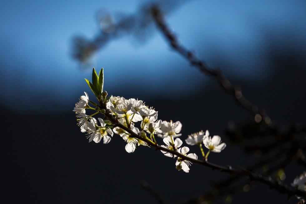 Hoa mận trắng báo hiệu mùa xuân - Ảnh: CAO KỲ NHÂN