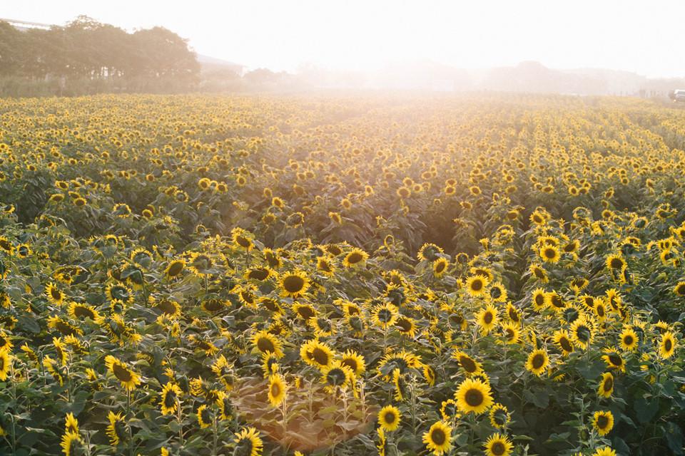 Cánh đồng hoa mặt trời đang ở thời điểm đầu mùa nở nên lượng du khách tới tham quan vẫn còn thưa thớt. Bạn nên tranh thủ tới đây vào dịp cuối tuần này để ghi lại những bức hình ngập ánh nắng mà không phải xếp hàng chờ tới lượt chụp ảnh.