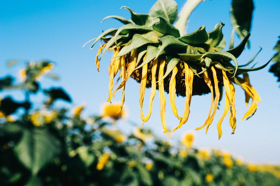 Hướng dương chóng nở cũng chóng tàn. Nếu không muốn bỏ lỡ những tấm ảnh rực rỡ bên cánh đồng hoa mặt tròi, bạn nên nhanh chóng tới Nghệ An những ngày đầu năm 2019, bởi đến khoảng giữa tháng một hoa sẽ tàn.