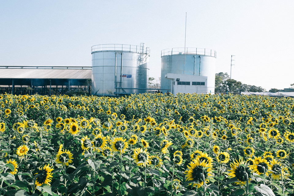 Cách Hà Nội khoảng hơn 200 km, cánh đồng hướng dương thuộc địa phận xã Nghĩa Sơn, huyện Nghĩa Đàn, tỉnh Nghệ An. Cánh đồng hoa đang độ nở rộ, phủ màu vàng rực trên diện tích rộng tới 70 ha.