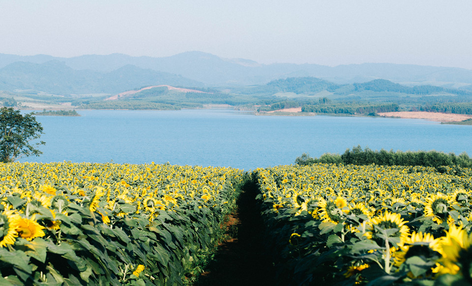 Đồng hoa mặt trời tỏa nắng như tô điểm cho mảnh đất phía tây xứ Nghệ. Cánh đồng trải dài sát tận con sông Sào, tạo khung cảnh nên thơ, đẹp chẳng thua kém cảnh quan thiên nhiên nổi tiếng nào.