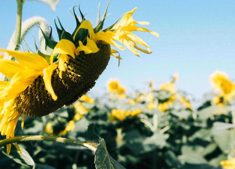 Những bông hoa hướng dương bung nở rực rỡ, ngậm từng giọt sương sớm, vươn tới ánh nắng mặt trời, thu hút du khách thập phương tới tham quan, chụp hình.