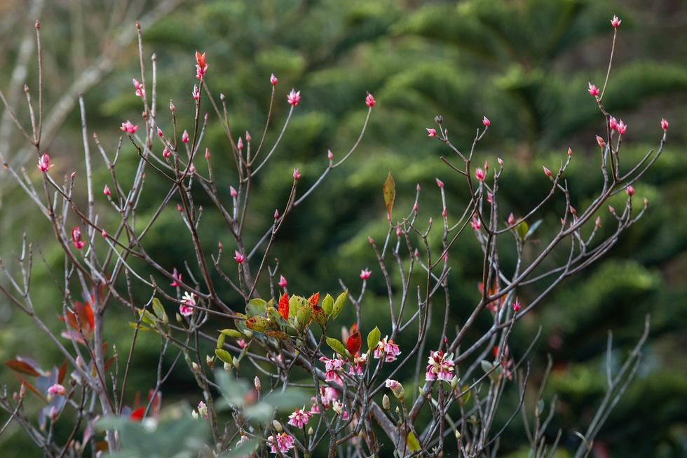Một vạt cây đầy nụ hoa đào chuông - Ảnh: ƯỚC PB