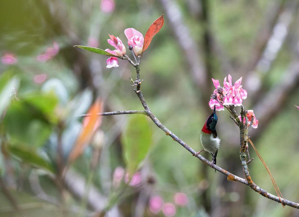 Hoa đào chuông Bà Nà nở từ tháng 1 đến tháng 3 hằng năm - Ảnh: ƯỚC PB