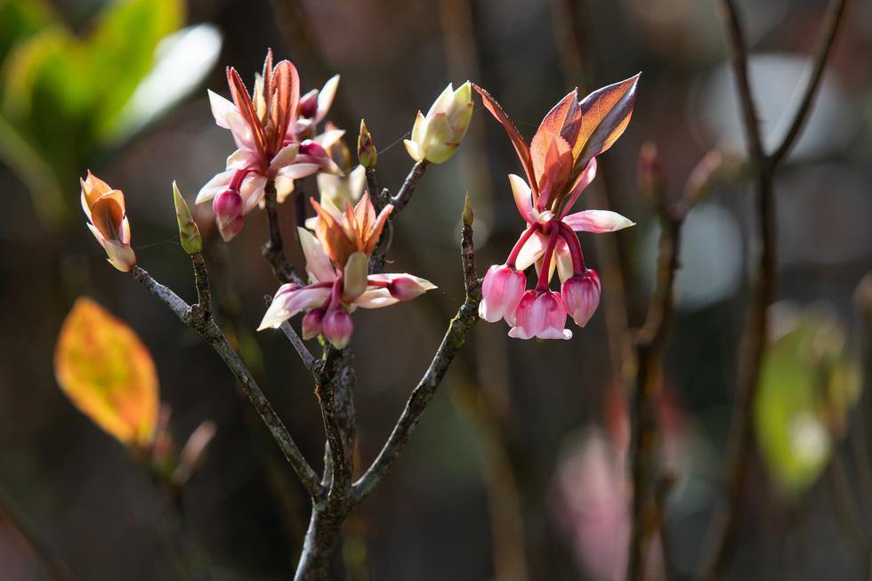 Khu vực Trú Vũ Trà Quán, Bà Nà là nơi trồng nhiều hoa đào chuông nhất - Ảnh: ƯỚC PB