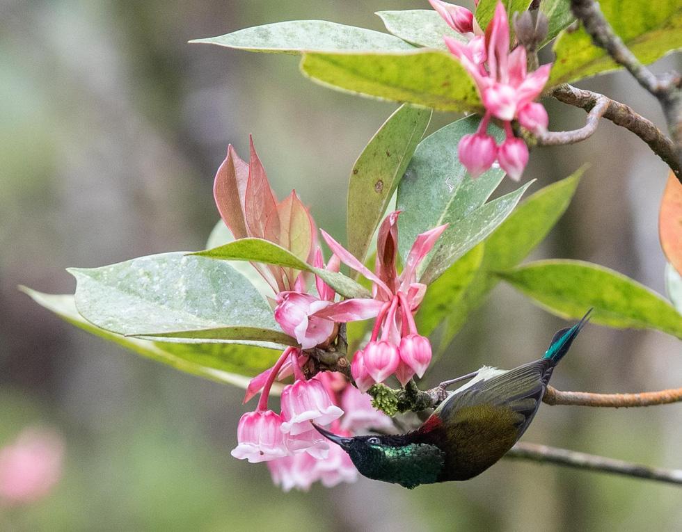 Khu du lịch Bà Nà chú trọng chăm sóc và nhân giống loài hoa này - Ảnh: ƯỚC PB