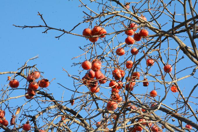Vào mùa đông, những quả hồng nổi bật trong khuôn viên chùa với màu cam đỏ rực. Ngoài giá trị lịch sử và Phật giáo, chùa Tongdosa cũng ghi dấu bởi cảnh quan thiên nhiên thơ mộng xung quanh.