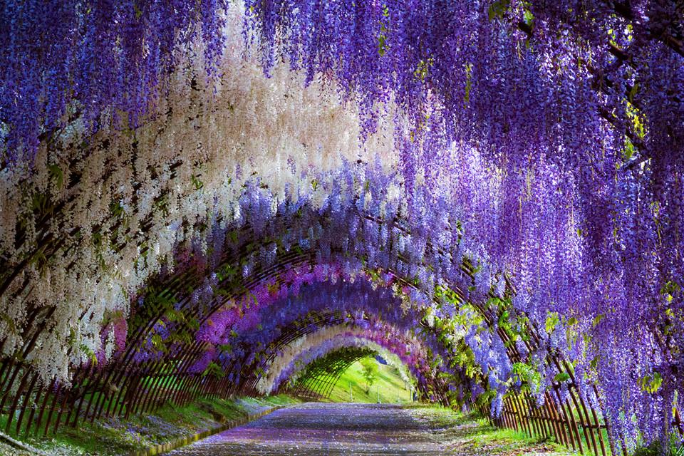 Vườn Kawachi Fuji (Fukuoka): Hoa tử đằng, loài hoa trứ danh xứ mặt trời mọc, đại diện cho tình yêu vĩnh cửu được trồng thành đường hầm tại vườn Kawachi Fuji tọa tại thành phố Fukuoka. Khu vườn hiện có khoảng 150 cây tử đằng với hơn 20 chủng khác nhau. Điểm thu hút du khách nhất tại khu vườn này là đường hầm tử đằng rợp sắc tím, trắng, đẹp tựa xứ thần tiên. Lễ hội hoa tử đằng thu hút khách du lịch thường được tổ chức từ tháng 4-5 hàng năm, đây là thời điểm tử đằng nở rực rỡ nhất. Ảnh: Carlsson.