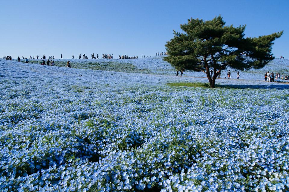Công viên Hitachi (Ibaraki): Từ tháng 4-5 hàng năm, công viên Hitachi được phủ xanh bởi sắc màu nở rộ của hơn 4 triệu bông hoa nemophilas. Công viên nằm trên đồi Miharashi, hoa nemophilas là một trong những loài hoa tạo điểm nhấn, thu hút du khách đến thăm địa danh này. Các loài hoa ở Hitachi được trồng theo mùa. Vào mùa thu, nơi đây nổi tiếng với loài cây bụi kochia như những cục bông khổng lồ, đầu thu có màu xanh vàng, cuối thu, đầu đông cây chuyển sắc đỏ, dập dìu trong gió. Ảnh: Toshiaki.